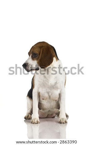 A beagle mom after is pregnancy isolated on white - stock photo