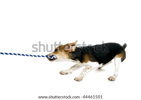 A beagle puppy pulling on a rope - stock photo