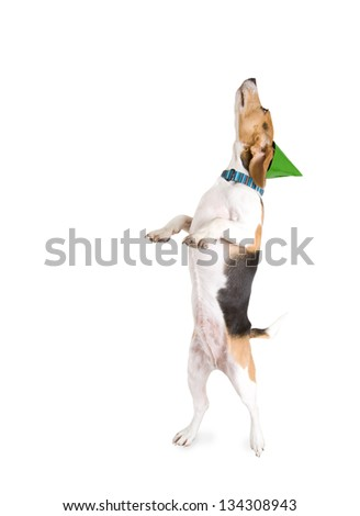 a beagle standing up begging - stock photo