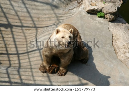 A Bear in the Zoo  - stock photo
