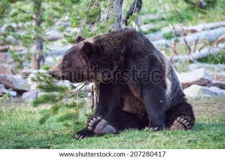 A bear relaxes next to a small tree - stock photo