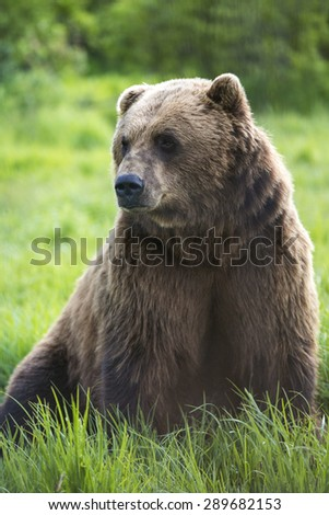 A bear sitting in a grass field in Alaska.  - stock photo