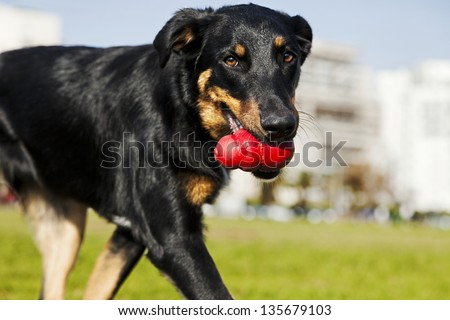 A Beauceron and Australian Shepherd mixed breed dog walking in an urban park with a red chew toy in its mouth. - stock photo