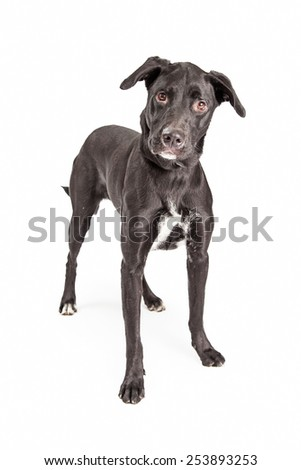 A beautiful adult black Labrador Retriever mixed breed dog standing and looking straight at the camera - stock photo