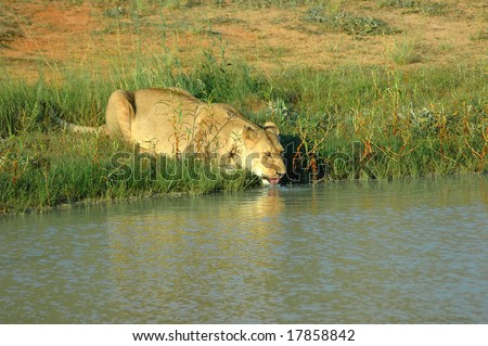A beautiful African lioness drinking water at the water hole in a game reserve in South Africa - stock photo