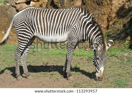 A beautiful African zebra in his natural environment - stock photo