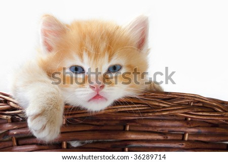 A beautiful baby cat, asleep in a basket of twigs - stock photo