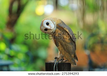 A beautiful barn owl perched on a tree stump. - stock photo