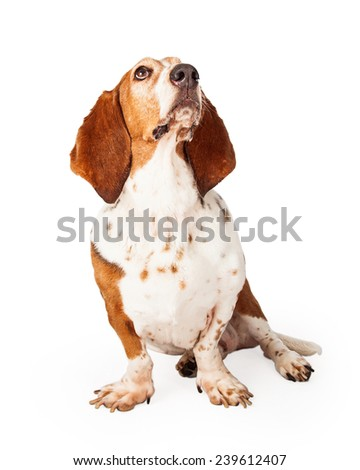 A beautiful Basset Hound dog sitting and looking up and off to the side. - stock photo