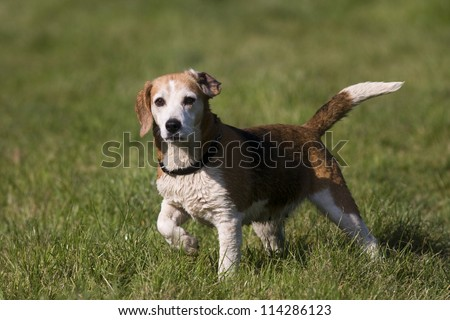 A beautiful beagle hound dog standing with tail held high, and one front leg bent watching other dogs in the park outdoors. - stock photo