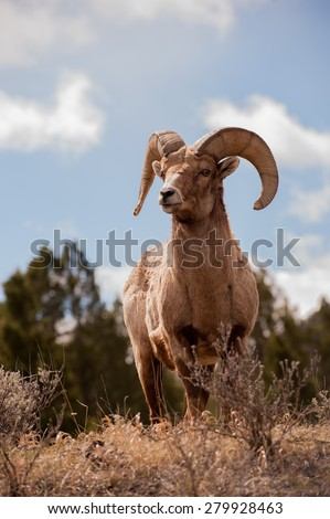 A beautiful big horn sheep ram alert and looking off in the distance; full body shot facing forward - stock photo