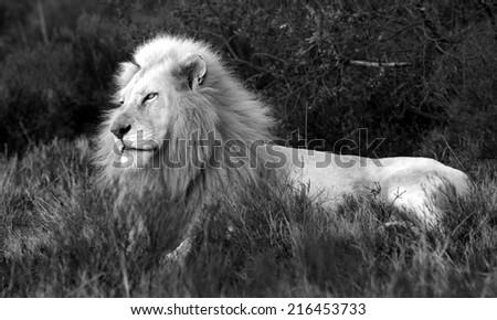 A beautiful big male white lion posing in the grass. - stock photo