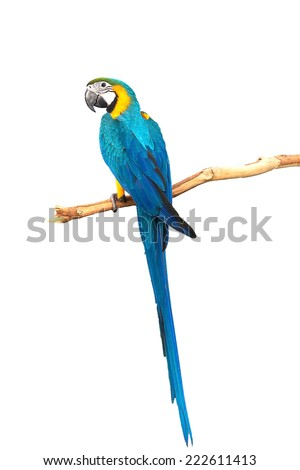 A beautiful bird Blue and Gold Macaw isolate on white background with clipping path. - stock photo