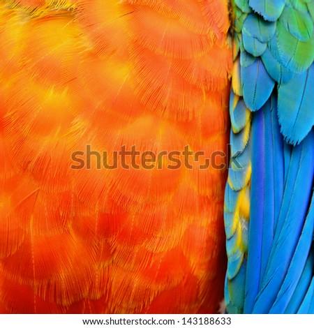 A beautiful bird Harlequin Macaw feathers - stock photo