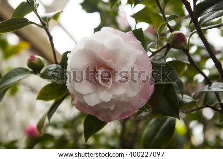 A beautiful, blooming pink and white Camellia Japonica, Nuccio's Pearl blossom suspended on a stem on a background of green leaves and camellia buds - stock photo