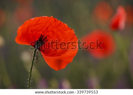 a Beautiful blooming red poppies, floral background - stock photo