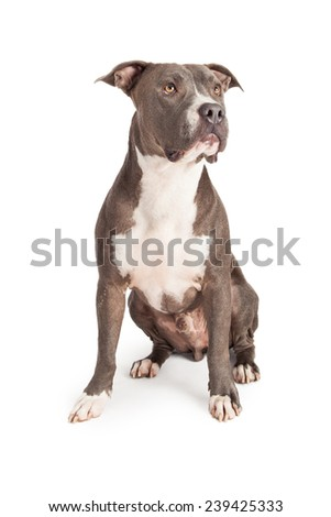 A beautiful blue coated American Staffordshire Terrier dog sitting down and looking off to the side - stock photo