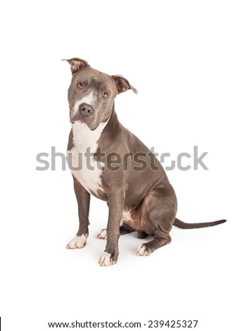 A beautiful blue coated American Staffordshire Terrier dog sitting down and looking straight into the camera - stock photo