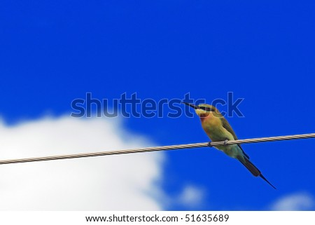 A beautiful blue tailed bee eater sitting on an electric wire - stock photo
