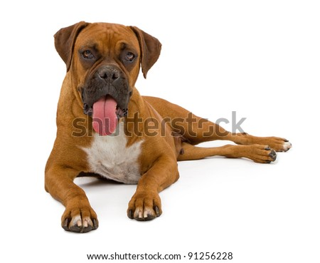 A beautiful Boxer dog laying on a white backdrop with tongue out. - stock photo