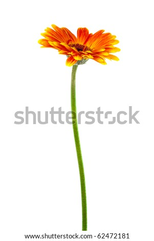 a beautiful bright gerbera on white background - stock photo