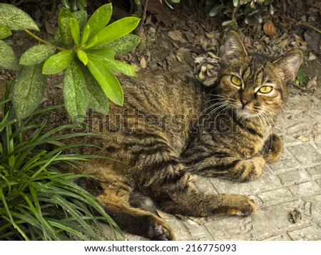 A beautiful cat with yellow eyes lying in the street   - stock photo