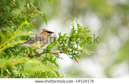 A beautiful cedar waxwing in a cedar hedge with copy space. - stock photo