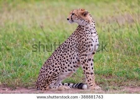 a beautiful cheetah resting at the masai mara  - stock photo
