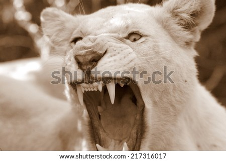 A beautiful close up portrait of a huge white lioness showing her teeth. - stock photo