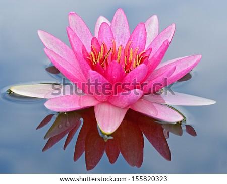 A beautiful closeup pink waterlily or lotus flower. - stock photo