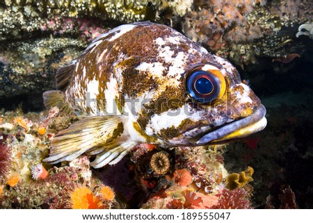 A beautiful cold water rockfish rests atop a reef crevice in the pacific ocean??s channel islands. - stock photo