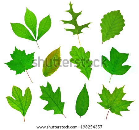 A beautiful collection of eleven leaves from important deciduous trees of North America.  - stock photo