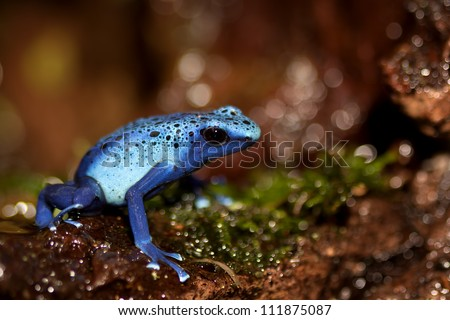 A beautiful colored Dendrobates Azureus in a fairytale environment - stock photo