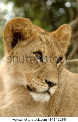A beautiful cute little lion cub face head portrait watching other lions in a game park in South Africa - stock photo
