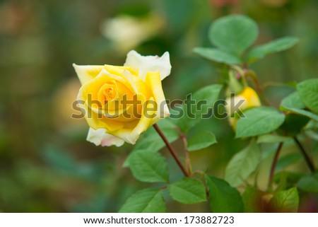 A beautiful deep yellow rose - stock photo