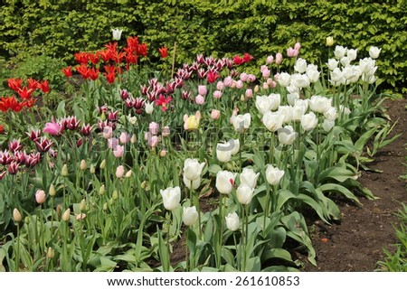 A Beautiful Display of Flowering Tulip Plants. - stock photo