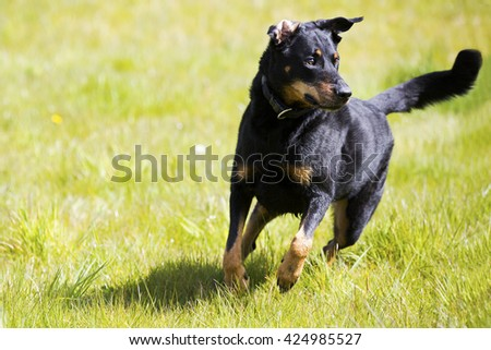 A beautiful dog running in the green grass  - stock photo
