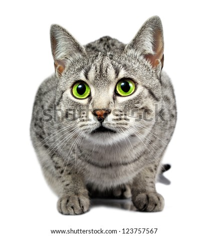 A beautiful Egyptian Mau silver spotted cat with a shallow depth of field.  Eyes are in focus - stock photo