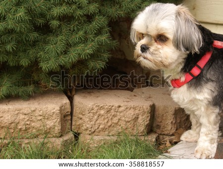 A beautiful female Morkie dog spends some time outdoors. - stock photo