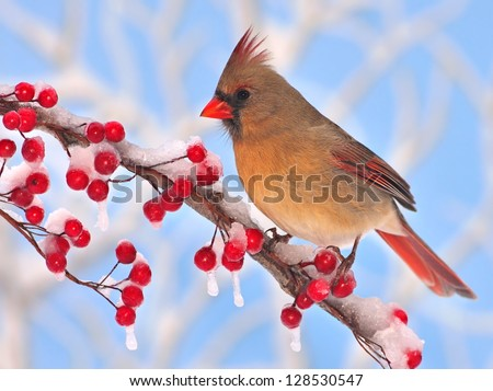 A beautiful female Northern Cardinal (Cardinalis cardinalis) at icy red winter berries with blue sky in the background. - stock photo