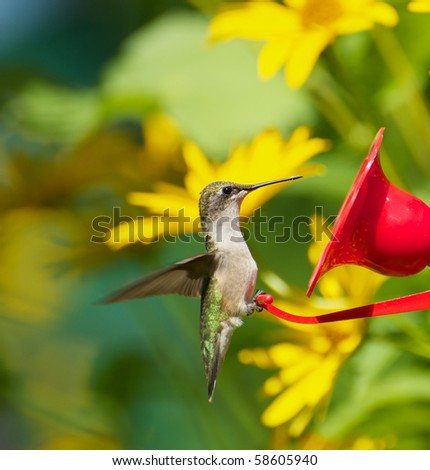 A beautiful female ruby throat hummingbird perched at a feeder surrounded by flowers. - stock photo