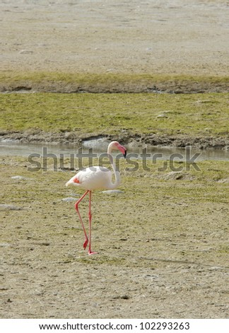 A beautiful flamingo on the sea bed during low tide - stock photo