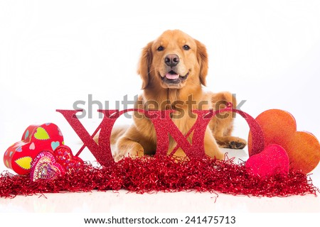 A beautiful Golden Retriever Dog laying down in Valentine's Day decorations. - stock photo