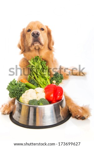 A beautiful golden retriever dog looking disgusted with a bowl of fresh vegetables. - stock photo