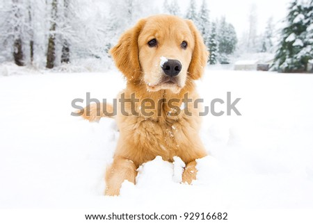 A beautiful Golden Retriever playing outside in cold winter snow. - stock photo