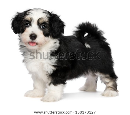 A beautiful happy tricolor havanese puppy dog is standing and looking at camera, isolated on white background - stock photo