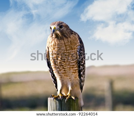 A beautiful hawk sitting on a fence post at a pasture looking for prey. - stock photo