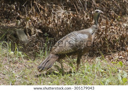 A beautiful, healthy, wild female turkey is alert for danger as she stands camouflaged among dry brown foliage - stock photo