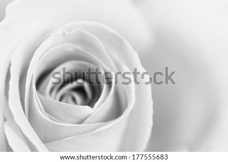 A beautiful high resolution rose in black and white - stock photo