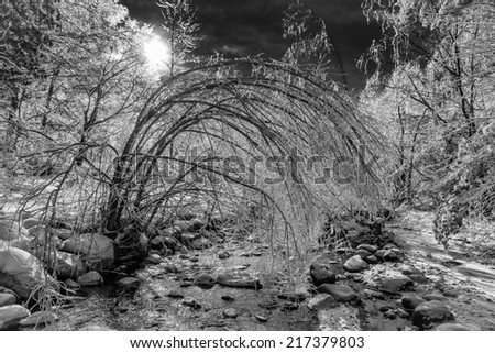 A beautiful ice covered frozen forest landscape shine and sparkle after an ice storm.  A tree by a running rocky stream is bent over by the weight of the ice on its branches.  Black and white Photo. - stock photo